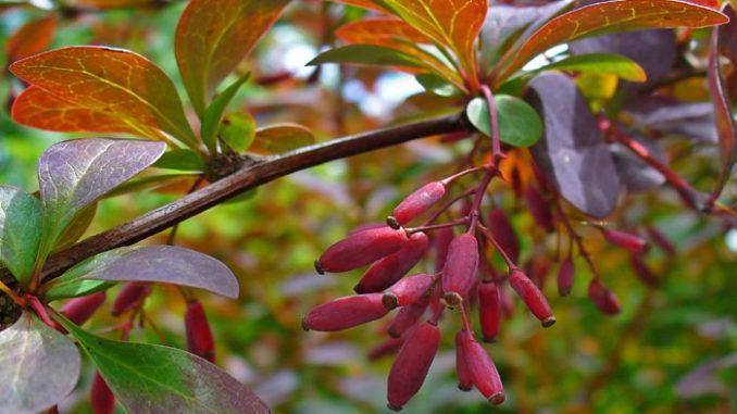 berberis vulgaris crespino