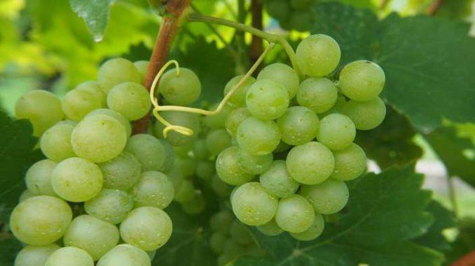 perché scegliere vino biologico
