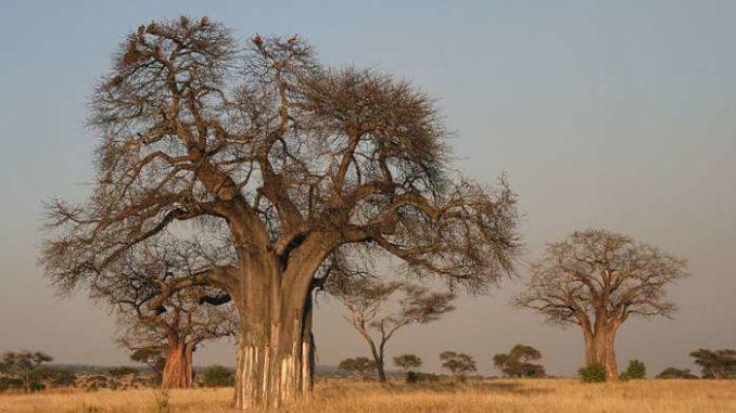 polpa di baobab adansonia