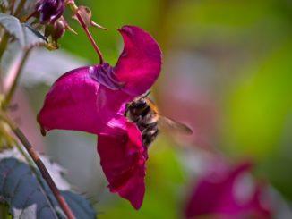 impatiens fiori di bach