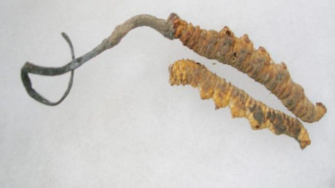 Cordyceps proprietà e benefici